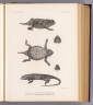 Fig. 1-1a and 1b. Phrynosoma planiceps. Fig. 2 and 2a. Sceloporus smaragdinus. T. Sinclair & Son lith., Phila. (1875)