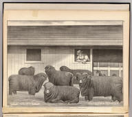 French merino sheep, property of Mrs. R. Blacow, Alameda Co., Cal., P.O. address Centreville. (Published by Thompson & West, Oakland, Cala., 1878)