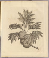 (A branch of the bread-fruit tree with the fruit). J. Miller fecit. No. 11. London: printed for W. Strahan, and T. Cadell in the Strand, MDCCLXXIII).