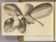 (Plant used at Otaheite to catch fish by intoxicating them). No. XXIV. Published Febry. 1st., 1777 by Wm. Strahan in New Street, Shoe Lane & Thos. Cadell in the Strand, London.