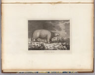 A white bear. J. Webber del. Mazell sculp. (London, G. Nicol and T. Cadell, 1785)