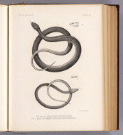 Fig. 1 and 1a. Chilopoma rufipunctatum. Fig. 2 and 2a. Eutaenia vagrans angustirostris. T. Sinclair & Son lith., Phila. (1875)
