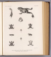Fig. 1-2 and 3. Rana onca. Fig. 4 and 5. Bufo pictus. Fig. 6-7 and 8. Spea stagnalis. T. Sinclair & Son lith., Phila. (1875)