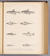 Fig. 1 and 1a. Lepidomeda jarrovii. Fig. 2 and 2a. Lepidomeda vittata. Fig. 3 and 3a. Plagopterus argentissimus. Fig. 4 and 4a. Apocope vulnerata. T. Sinclair & Son lith., Phila. (1875)