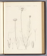 Actinomeris wrightii. Sprague del. U.S. Geographical Surveys West of the 100th Meridian. (1878)