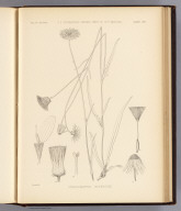 Pyrrhopappus rothrockii. Sprague del. U.S. Geographical Surveys West of the 100th Meridian. (1878)