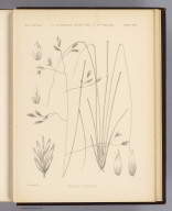 Festuca thurberi. W.H. Seaman del. U.S. Geographical Surveys West of the 100th Meridian. (1878)