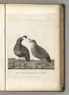 Male & Female Partridge of California. Published as the Act directs Novr. 1st 1798, by G.G. & J. Robinson, Pater Noster Row, London. Prevost, del. Heath, sculp., Strand. No. 36.