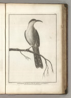 Promerops or Bee-Eater of California. Published as the Act directs Novr. 1st 1798, by G.G. & J. Robinson, Pater Noster Row, London. Prevost, Junr. delt. No. 37.
