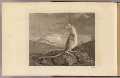 (An animal found on the coast of New Holland called Kanguroo). No. 20. (London: printed for W. Strahan, and T. Cadell in the Strand, MDCCLXXIII).