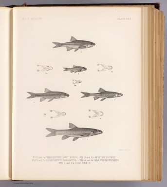 Fig. 1 and 1a. Rhinichthys maxillosus. Fig. 2 and 2a. Apocope couesi. Fig. 3 and 3a. Ceratichthys sterletus. Fig. 4 and 4a. Gila phlegethontis. Fig. 5 and 5a. Gila taenia. T. Sinclair & Son lith., Phila. (1875)