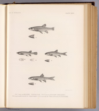Fig. 1 and 1a. Apocope ventricosa. Fig. 2 and 2a. Apocope henshavii. Fig. 3 and 3a. Myloleucus parovanus. Fig. 4-4a and 4b. Haplochilus floripinnis. T. Sinclair & Son lith., Phila. (1875)