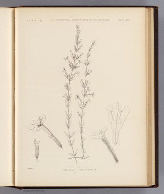 Hedeoma hyssopieolia. Sprague del. U.S. Geographical Surveys West of the 100th Meridian. (1878)