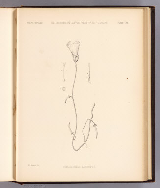 Convolvulus longipes. W.H. Seaman del. U.S. Geographical Surveys West of the 100th Meridian. (1878)