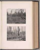 View: Plate XXX. Stump Land Restocked Densely with Red Fir. Burn of 1889.