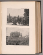 View: Plate XLIII. Pines, and Red Fir in Cowlitz Bottom.