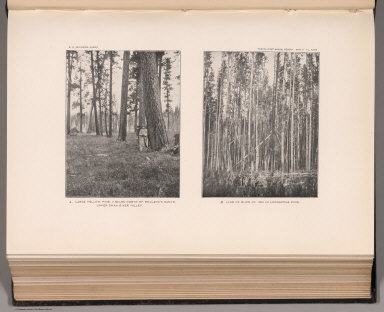View: Plate XXVIII. Yellow Pine, North of Holland's Ranch, Upper Swan River Valley. Burn of 1889.